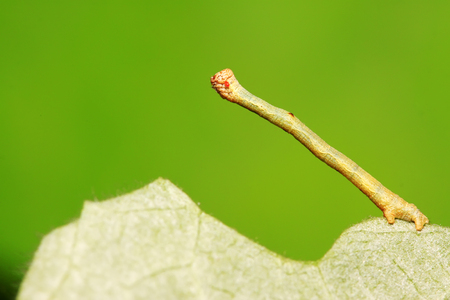 cankerworm larvae on plant in the wild Stock Photo