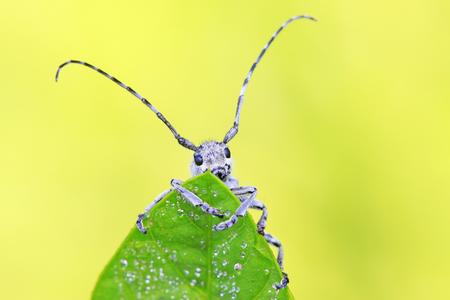 longicorn on green leaves