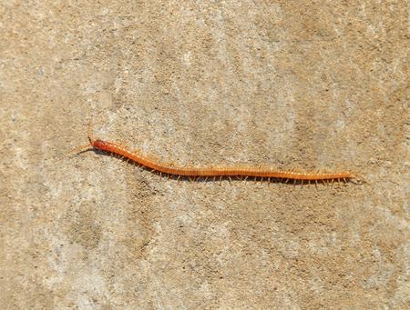 common house centipede Stock Photo