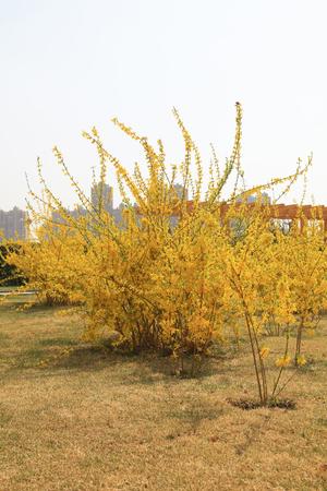 Forsythia flowers in a botanical garden