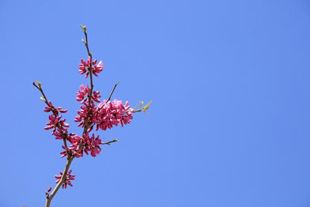 Bauhinia Flower in blue sky Stock Photo