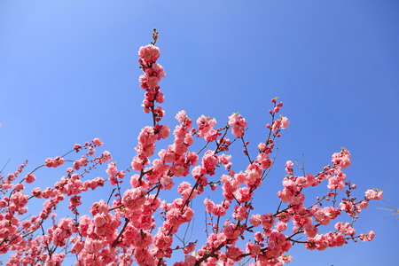 Peach blossoms in the blue sky background