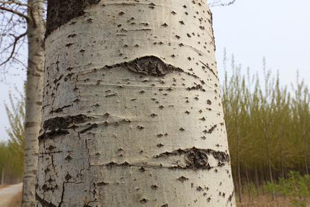 scar on the trunk of Populus tomentosa