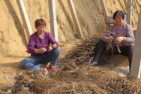 Tangshan City - 24 maart 2016: vrouwelijke werknemers geënte druiven zaailingen, Tangshan City, Hebei, China