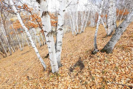 Silver birch in the wild Stock Photo