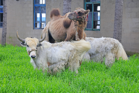 Yak and camels in a zoo