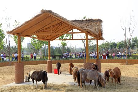 Shetland Pony in a zoo