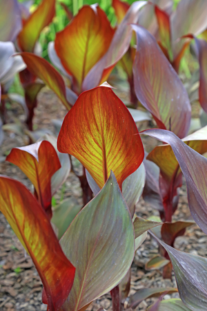 Canna flower leaves in the botanical garden   Stock Photo
