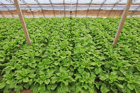 Vegetables in greenhouses