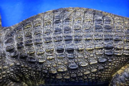 Alligator back close-up