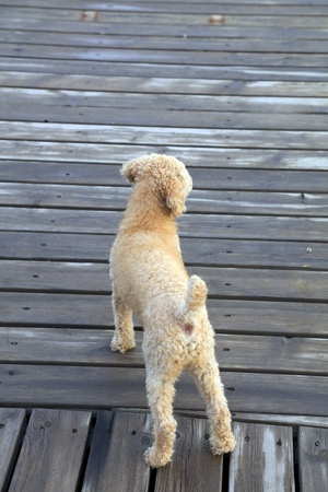 Poodle On The Wood Deck