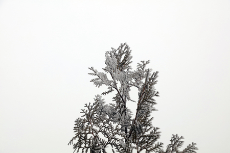 frost on the cypress