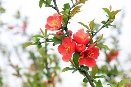 Flowers of Chaenomeles speciosa in the wild