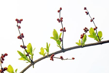 Lonicera maackii branch in the wild