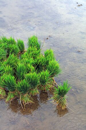 Rice Buds and Seedlings in Water