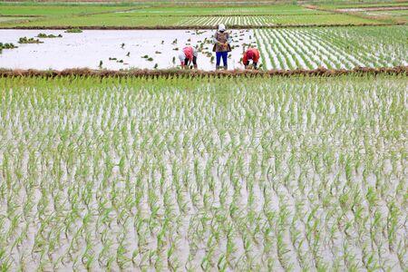 Rice transplanting in China