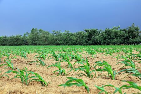 Corn plants in the fields 写真素材