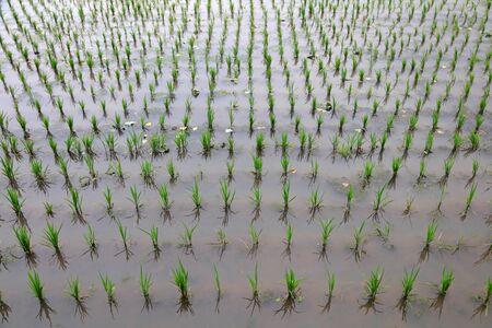Rice seedlings in paddy fields