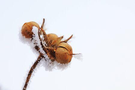 Snow on plants in winter