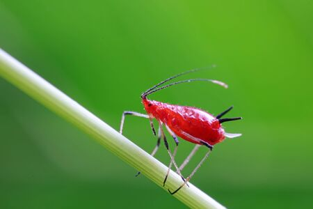 Red Aphids in Nature