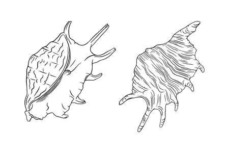 Conch seashell sketches. Tropical reef shell isolated in white background. Engraved vector illustration