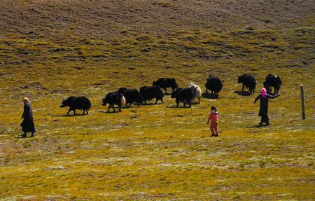 Tibetan shepherd