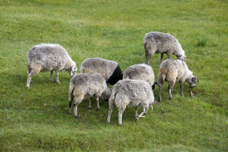 Sheep grass photo