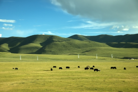 Tibet grassland cattle and sheep photo