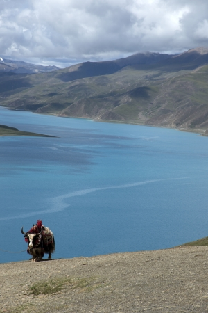 Cattle mountain lake in Tibet photo