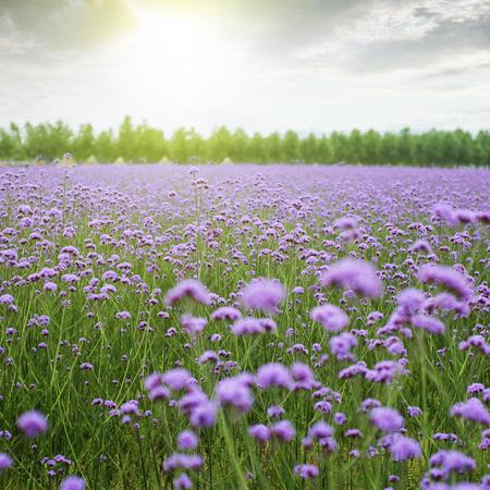 Verbena flowers Banque d'images