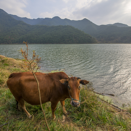 Mountain Lake with Cattle