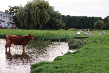 Cow bathing in pond