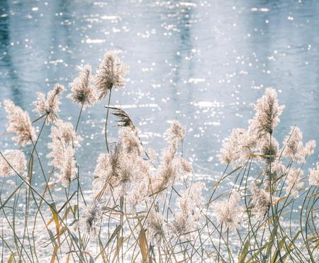 Winter river reeds backlight.