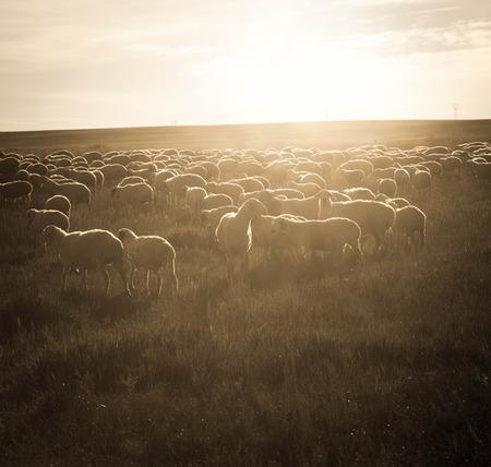 merino sheep: Backlit flock, nostalgic style. Stock Photo