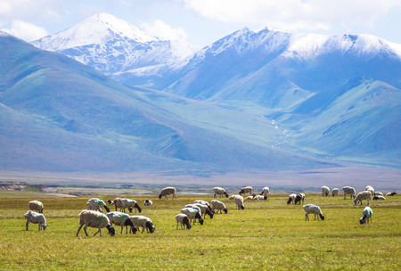 The flock under the snow mountain, the pasture on the plateau.