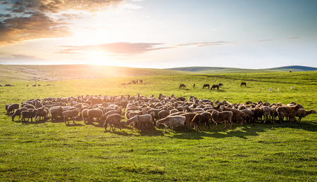 mongolia: A flock of sheep on the grassland.
