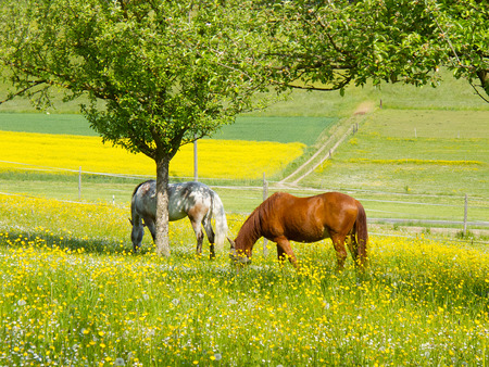 Two horses grazing in spring meadow underneath a tree Stok Fotoğraf