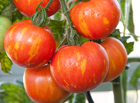 Striped tomato variety called  Tigerella  growing in a greenhouse