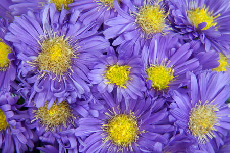 Full frame purple asters with yellow centers