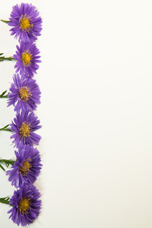 Purple aster flowers with stems border vertical side isolated on white
