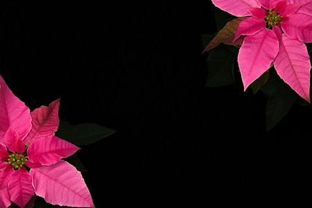 Pink poinsettia pair on opposite corners isolated on black background Banco de Imagens