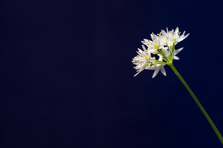 Single stem of an Allium ursinum flower isolated black