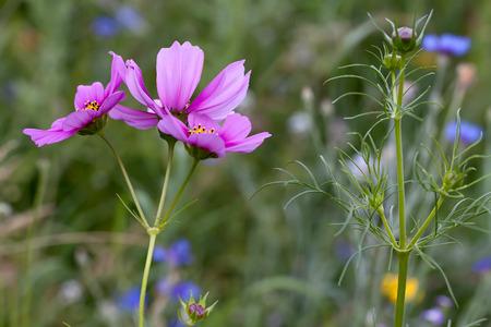 Pink Cosmos flower in bloom and in bud  Stok Fotoğraf