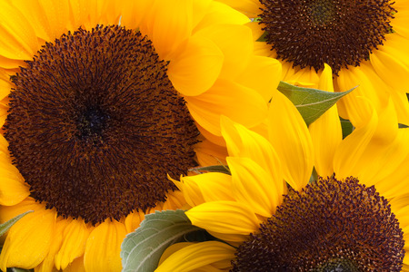 Set of three yellow sunflowers close up
