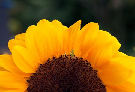 Yellow sunflower half view horizontal