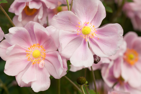 Pink Anemone flowers in natural garden setting