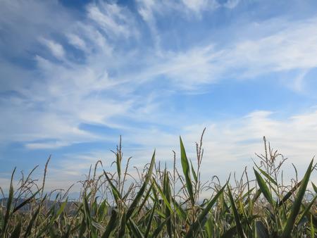 Corn field tops against wispy clouds blue sky
