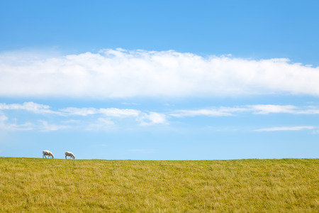 Sheared pair of sheep grazing together on a dike Stok Fotoğraf