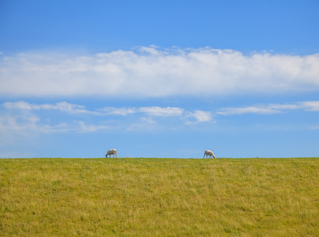 Sheared pair of sheep grazing in opposite direction