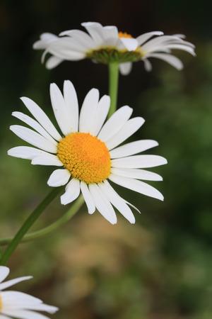 white daisies vertically oriented Stok Fotoğraf